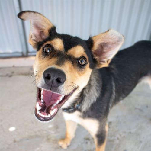 Augie - Kelpie Dog