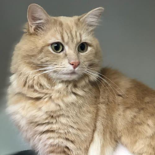 Barney - Domestic Medium Hair Cat