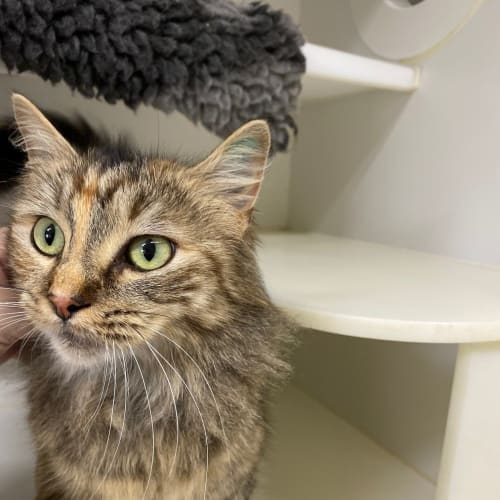 Sarah - Domestic Medium Hair Cat