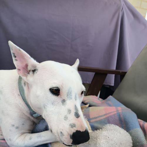 Gertie - Bull Terrier Dog