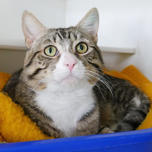 Nipper SUK004427 - Domestic Short Hair Cat