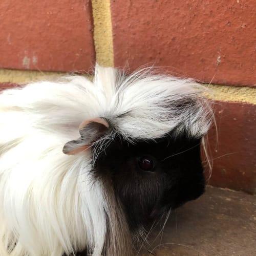 Ringo - Peruvian Guinea Pig