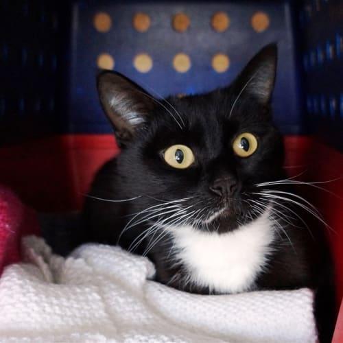 William - Domestic Short Hair Cat