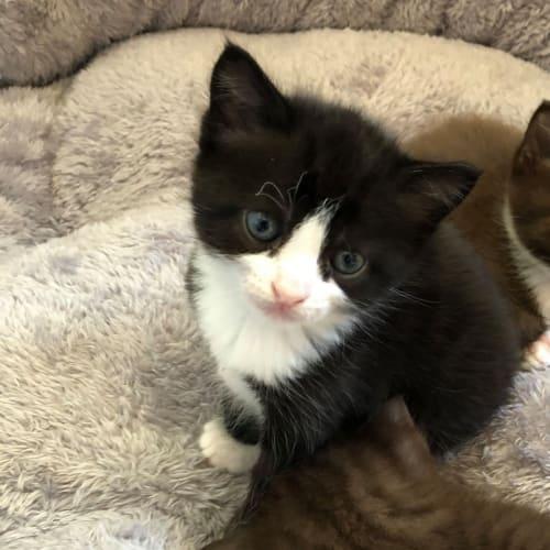 Avery - Burmese Cat