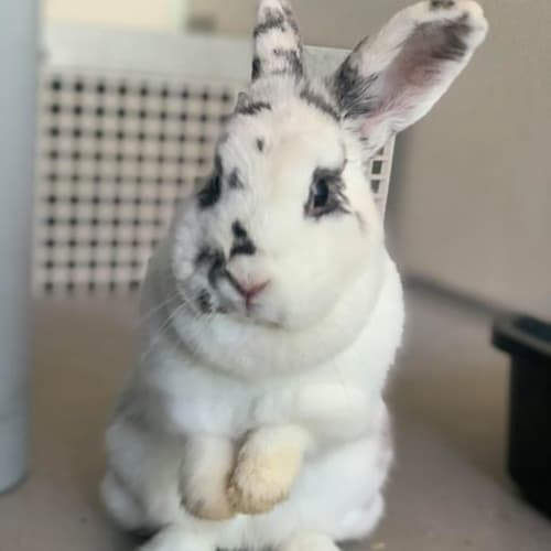 Sago - Domestic Rabbit