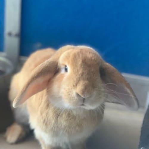 "Jimmy ""Bunsey"" Buns - Domestic Rabbit"