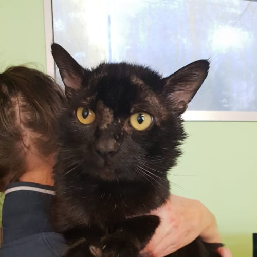George - Domestic Short Hair Cat