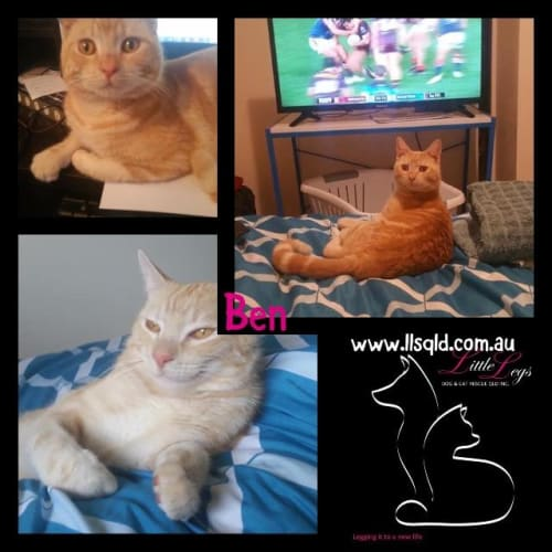 Ben - Domestic Short Hair Cat