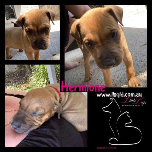 Hermione - Staffordshire Bull Terrier x Mixed Breed Dog