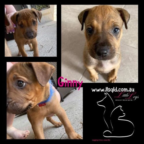 Ginny - Staffordshire Bull Terrier x Mixed Breed Dog