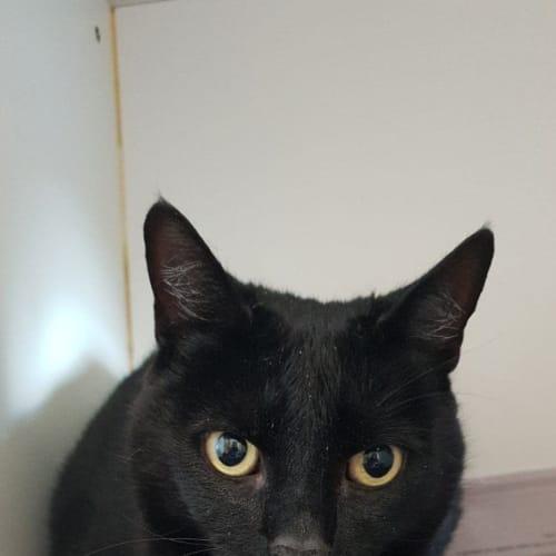 Mr. Sphinx - Domestic Short Hair Cat