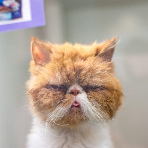 Ferguson - Persian Cat