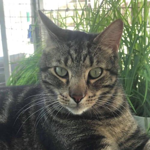 Bento - Bengal Cat