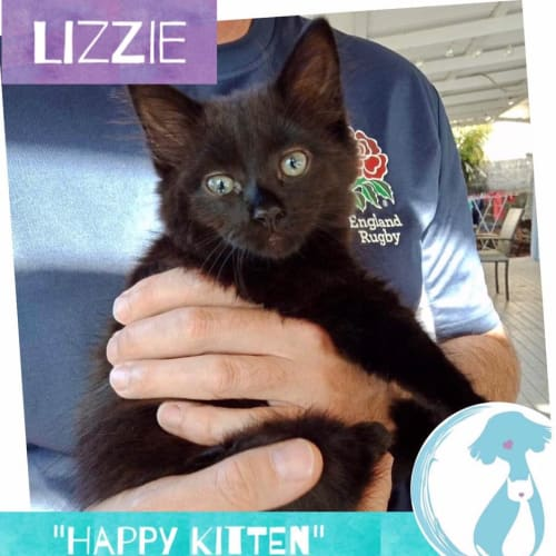 Lizzie - Domestic Medium Hair Cat