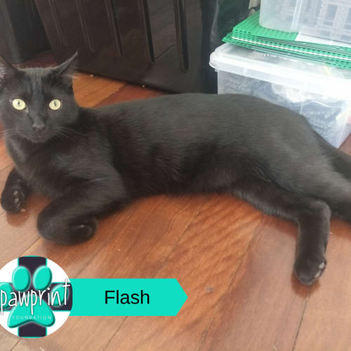 Flash - Domestic Short Hair Cat