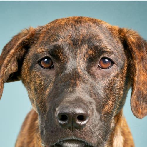 Bacon - Kelpie x Bull Arab Dog