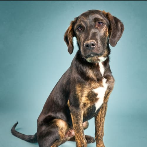 Beans - Kelpie x Bull Arab Dog