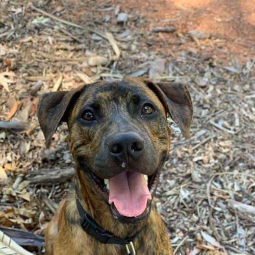 Dexta - Mixed Breed Dog