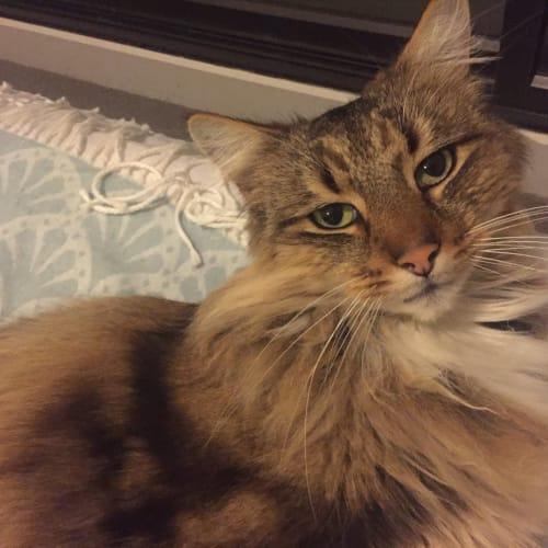 Max -  Meet me Saturday @Best Friends, Preston - Domestic Medium Hair Cat