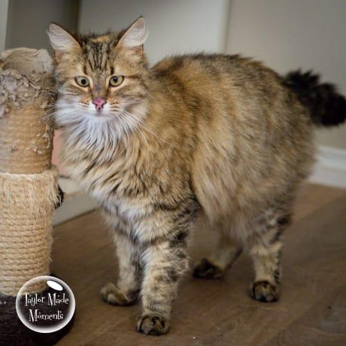 Pip - Domestic Medium Hair Cat