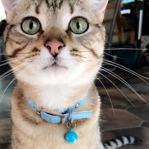 Chase (Located in Croydon) - Domestic Short Hair Cat