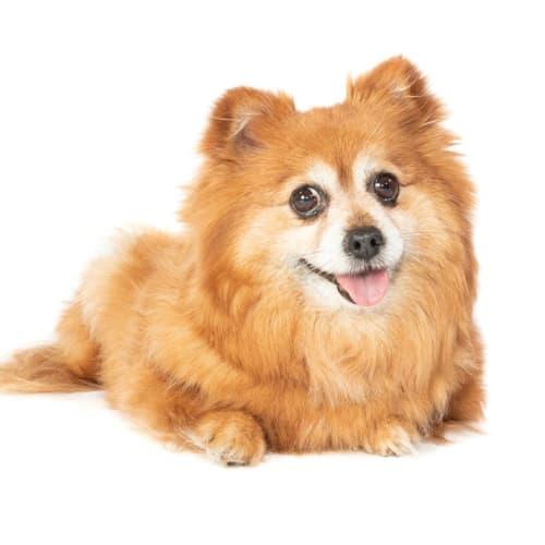 Lilo - Pomeranian Dog