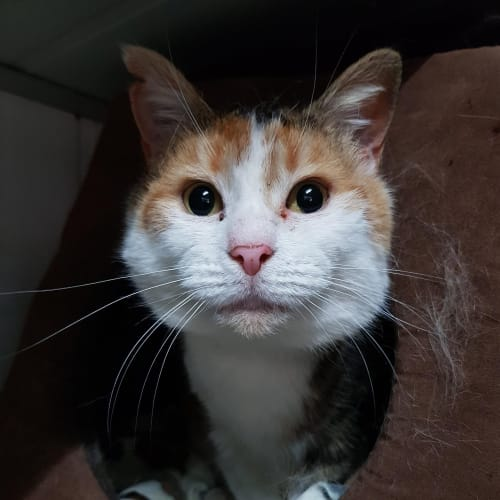 Daphne ID47884 - Domestic Short Hair Cat