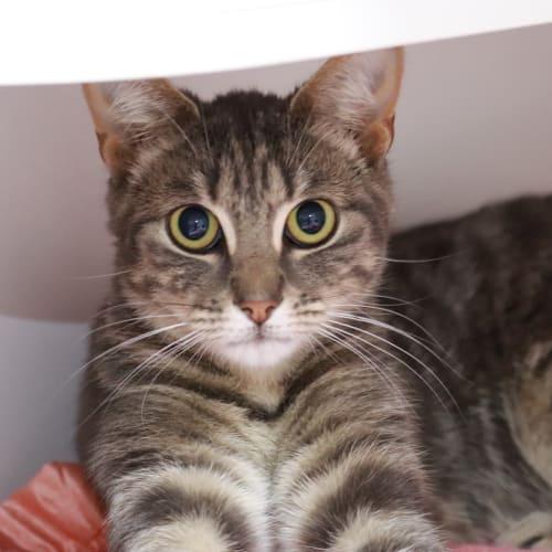 Kanga (with Roo) - Domestic Short Hair Cat