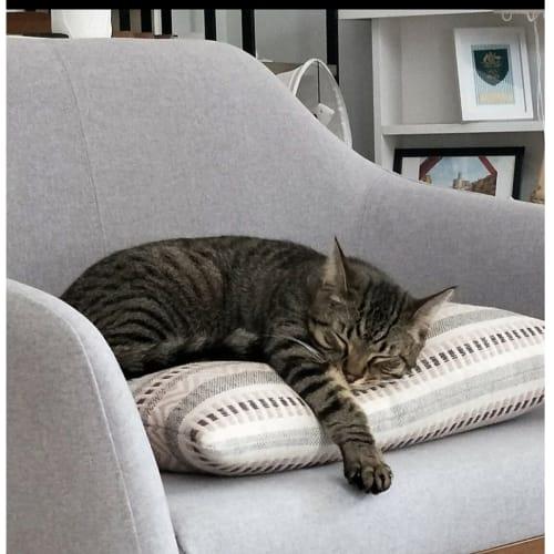 Ziggy ❤ - Domestic Short Hair Cat
