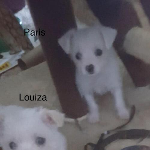 Louiza - Maltese Dog