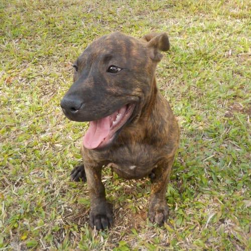 Brandy  - American Staffordshire Bull Terrier Dog