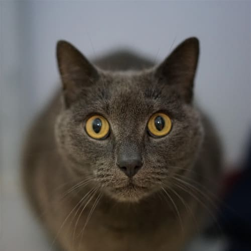 Goldy - Russian Cat