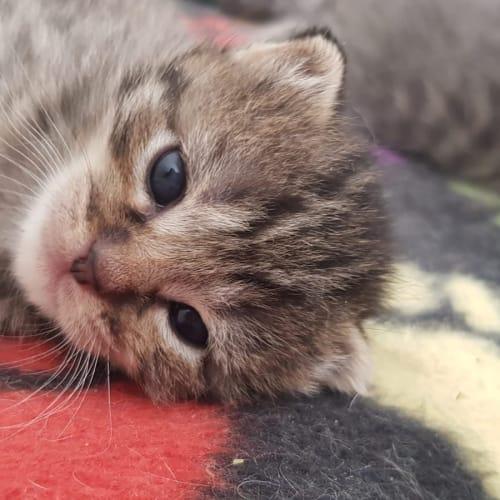 Lucas - Domestic Short Hair Cat