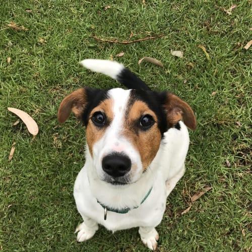 Emilio - Jack Russell Terrier Dog