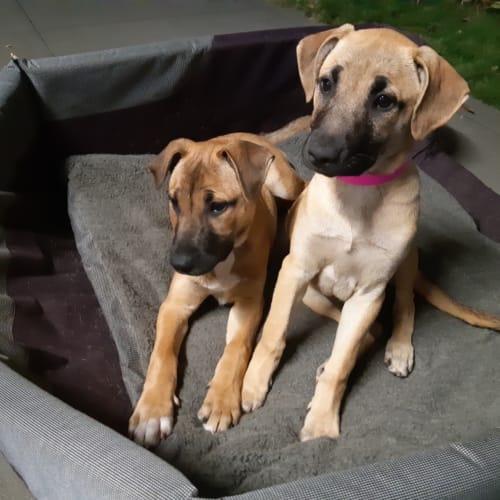 Kiara - Mastiff Dog