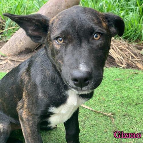 Gizmo - Kelpie Dog