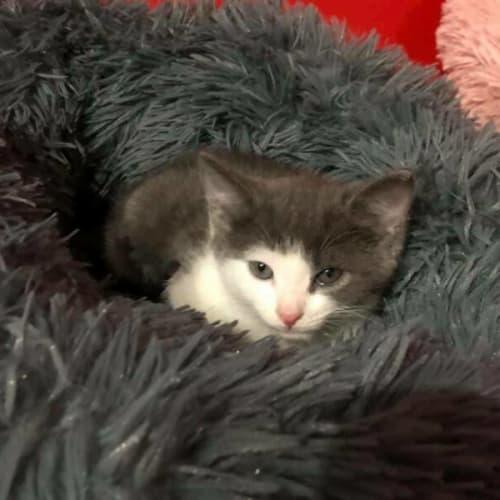 Caesar - Domestic Short Hair Cat