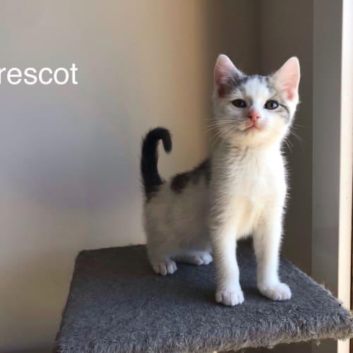 Prescot  - Domestic Short Hair Cat