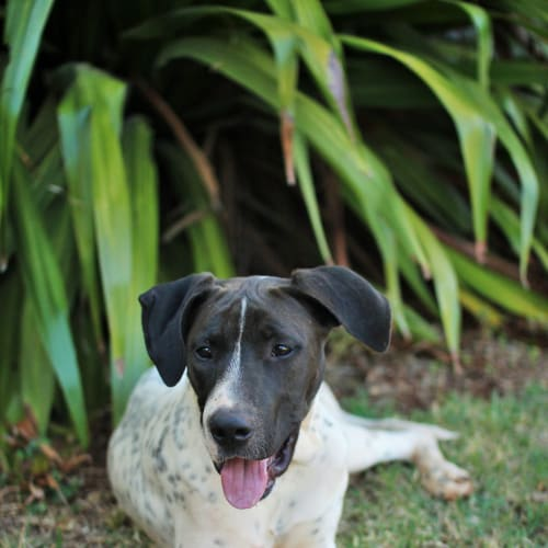 Lady  - German Shorthaired Pointer x Great Dane Dog