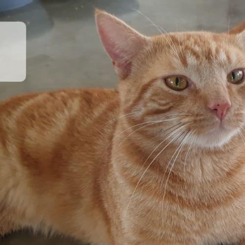 Trig - Domestic Short Hair Cat