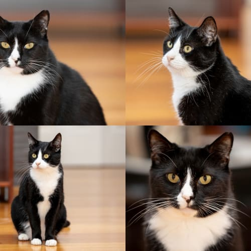 AC1065/AC1073 - Vinnie & Sebastian - Domestic Short Hair Cat