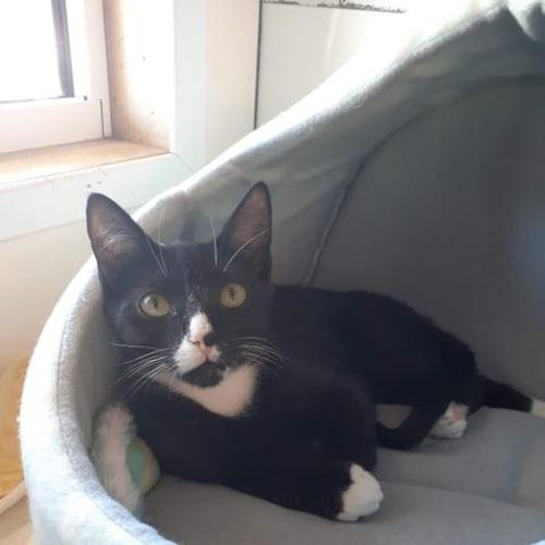 Cal - Domestic Short Hair Cat