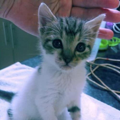 Presley - Domestic Medium Hair Cat