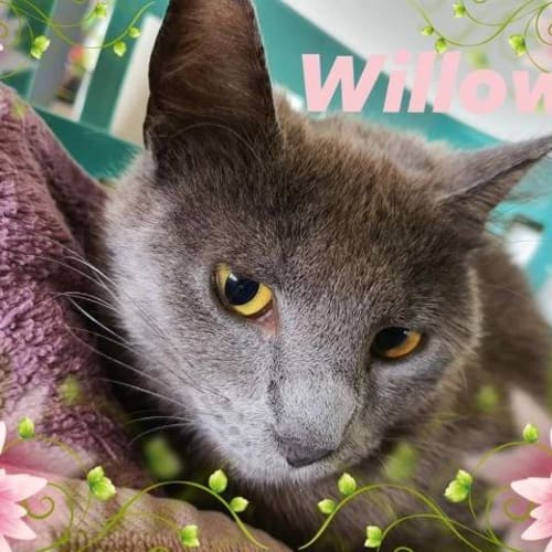 Willow Grey - Domestic Short Hair Cat