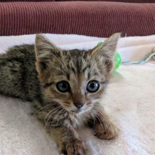 Dustee - Domestic Short Hair Cat