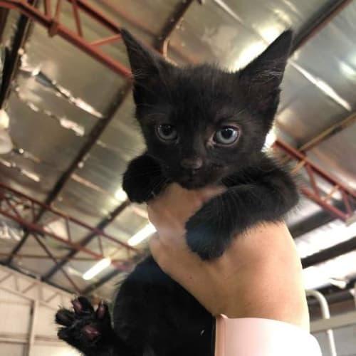 Fang - Domestic Short Hair Cat