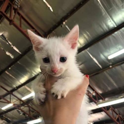 Ghost - Domestic Short Hair Cat