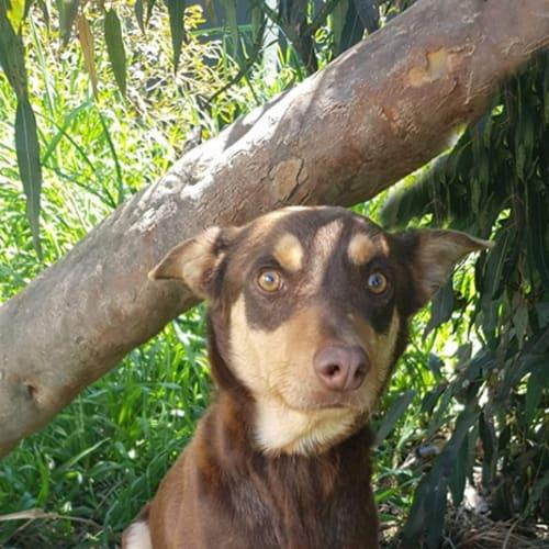 Fletch - Kelpie Dog