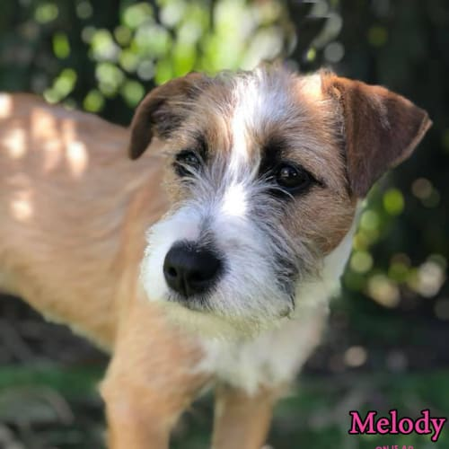 Melody - Terrier Dog