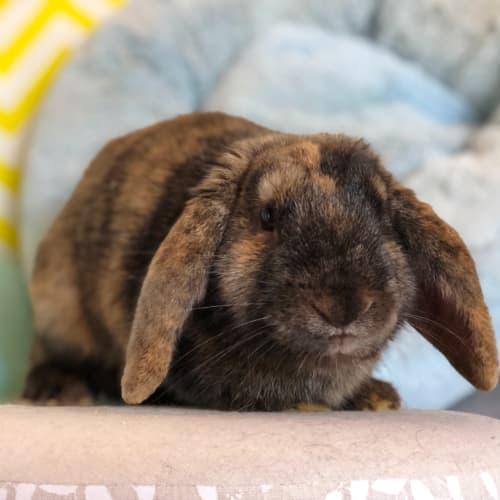 Taylor  - Lop Eared Rabbit